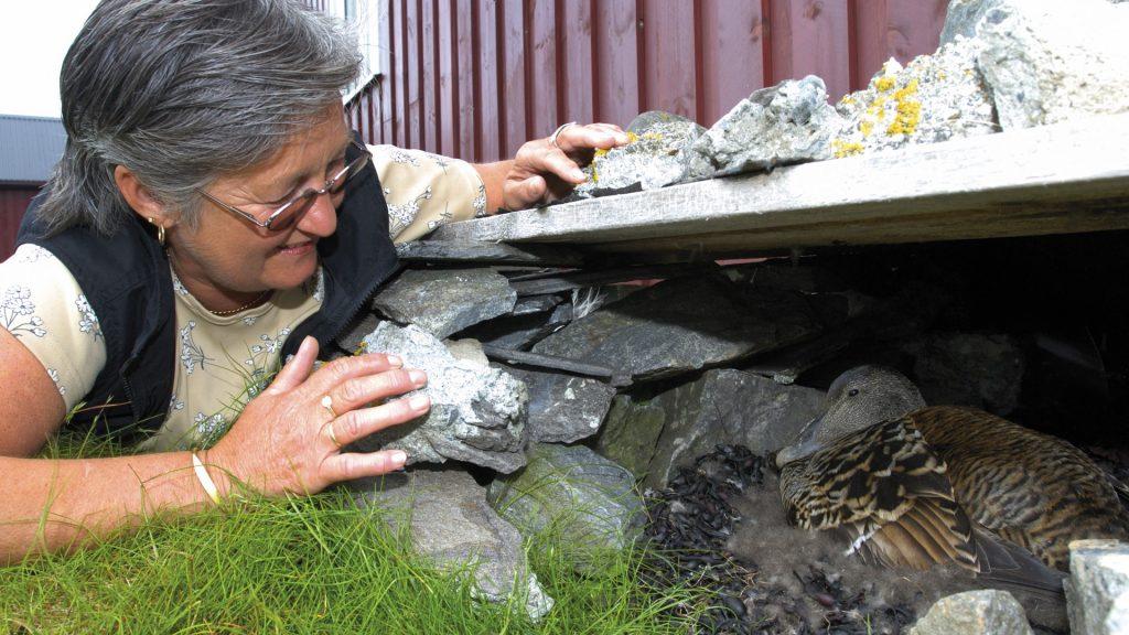 Fuglevokter sjekker ærfugl i steinhuset